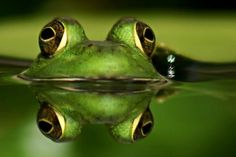 frog and reflection Crocodile, Frog Wallpaper, Pond Life, Cute Frogs, Frog And Toad, Reptiles And Amphibians, Mirror Image, Nature Animals, Wild Animals