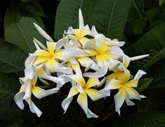 Virtual International Plumeria Society: Plumeria, Frangipani P. Amazing Flowers, Love Flowers, Yellow Flowers, Tropical Garden, Tropical Flowers, Best Smelling Flowers, Leaf Images, 1 Live, Growing Seeds
