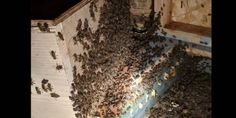 The stories about unknown hives are always fascinating and this one is a doozy. The latest tale of a massive hive living within a home comes out of California.