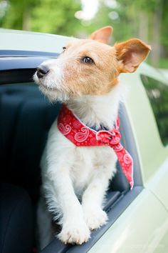Jack Russell Terrier Puppy Dogs JRT