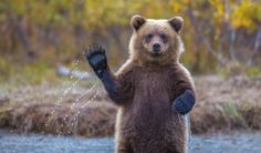 """'Cub Scouts Honor' - photo by Kevin Dietrich, via 500px;  """"This young bear cub was waiting for his mother to bring back salmon from the Crescent River in Alaska. As her mother dove for salmon this cub suddenly stood up and gave me the opportunity for this image."""""""