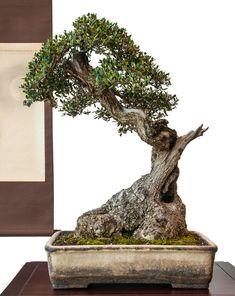 Alter Olivenbaum (Olea europea) als Bonsai
