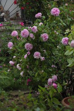 Die Remontant-Rose 'Enfant de France' ist gut geeignet auch für kleine Gärten vielleicht zusammen mit Portland-Rosen. Sie wird selten höher als knapp 100 cm wächst aufrecht und besitzt schönes Laub. Dieses Bild verdanken wir Patrizia Gasparini.