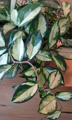 This is a variegated Hoya, a small plant on one of the plant care accounts that I visit each week. Plants at work. Plant photography by www.PlantAndFlowerInfo.com - visit the website to learn about indoor house plant care. #plants #flowers #indoor #hoya #houseplant