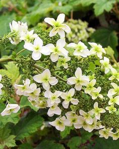 Oakleaf Hydrangea  Big flowers and oversize foliage ensure the oakleaf hydrangea has a unique presence in the garden. For flower lovers, the late-spring-blooming shrub offers reliable, vigorous growth, but the plant also supplies visual interest throughout the growing season.  Name: Hydrangea quercifolia  Growing conditions: Part shade and moist, well-drained soil  Size: To 6 feet tall and 8 feet wide  Zones: 5-9