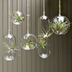 air plants in glass bubbles *Hanging gardens bring life to a room (every room should have something living in it) and are fantastic conversation starters in the modern abode. Hang these beautiful fern gardens with traditional colorful glass ornaments in an entryway or in front of a window.