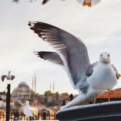 Пернатый постоялец Стамбула позирует на камеру #Стамбул #чайки Birds, Animals, Animales, Animaux, Bird, Animal, Animais