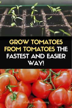 Growing Tomatoes Indoors in Containers from Seed FAST and EASY WAY. Start Tomatoes from Seed Indoors in Containers Pots Grow Tomatoes from Slices seeds quickly with this clever garden trick. A great way to plant tomatoes and grow tomatoes in pots or growing tomatoes indoors. You actually have all the tomato seeds you need for next year!! Growing tomatoes from seeds of the ones you bought at the grocery store. Great way to save money too. #growtomatoes #tomatoes #urbakigardening…