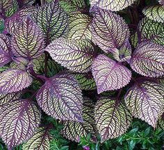 This beauty is another variety of coleus. Sun-tolerant coleus with patterned veins is easy to grow. It is an annual foliage plant that thrives in warm weather with moist soil conditions. You also can plant it in container gardens or landscape beds for se Purple Plants, Sun Plants, Foliage Plants, Shade Plants, Plants That Love Sun, Shade Annuals, Colorful Plants, Purple Flowers, Outdoor Plants