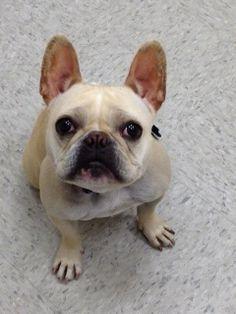 Louka, French Bulldog