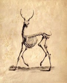 Vintage Science Animal Study. Deer Skeleton $9.00