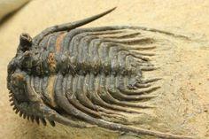 極上品!レオナスピス・エリプティカ(Leonaspis elliptica)/古生代デボン紀(4億1000万 -- 3億6700万年前)/4cm(本体最長部カーブ計測) / 母岩 6cm×6cm×2cm
