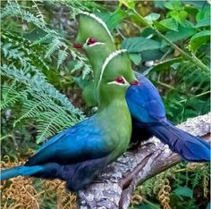 A pair of Knysna turacos (Tauraco corythaix), South Africa. Known locally as the Knysna loerie or lourie.