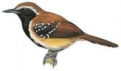 Rusty-backed Antwren (Formicivora rufa)