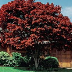 This tree provides a graceful silhouette with finely textured foliage. Intense red color, making it one of the most popular ornamentals to landscape with. Easy to grow, gorgeous foliage, small in size so can be planted almost anywhere.