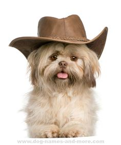 Shih Tzu puppy wants to be a cowboy