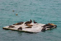 Sea Lion Escape