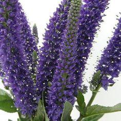 ALTE PERENE : Veronica longifolia - soi Marietta - Sopârlița Planta