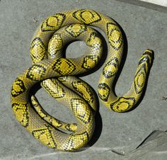 Female Mandarin Rat Snake