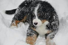 Loving the snow - Berner puppy