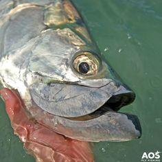 Tarpon close up!    #poon #tarpon #aosfishing #flyfishing #fliegenfischen #pescamosca #graz #styria #steiermark #onlineshop #picoftheday #photooftheday #lovefishing #austria #caribbean #catchoftheday #catchandrelease #sabalo #fluefiske #finatical #looplife #orvisflyfishing #saltwater #saltlife #onthefly @hatchoutdoors @thomasandthomasflyrods @scientificanglers @aosfishing