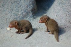 baby mongooses I want one!!!!!!!!!!!!