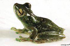 Palmar Treefrog