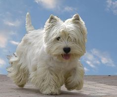13 small dog breeds that don& grow much - Discover them! - 13 small dog breeds that don& grow much – West highland white terrier - Westie Puppies, Westies, Cute Puppies, Dogs And Puppies, Doggies, West Highland Terrier, Highlands Terrier, Dog Breeds Little, Small Dog Breeds