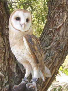"""Great Horned Owl. 25"""" Wingspan of almost 5 feet. The ..."""
