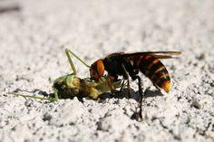 Hornet Vs Praying Mantis 105 best Intere...