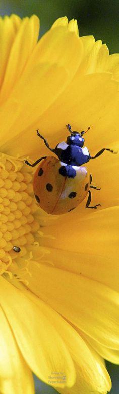 Lady Bug on Sunflower