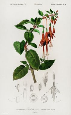 Hummingbird fuchsia (Fuchsia gracilis) illustrated by Charles Dessalines D' Orbigny (1806-1876). Digitally enhanced from our own 1892 edition of Dictionnaire Universel D'histoire Naturelle.   free image by rawpixel.com