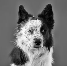 Storm, 2 year old border collie male. by Anne Skjevik