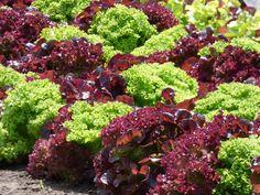 Find images of Red Lettuce. Types Of Lettuce, Lettuce Recipes, Seed Catalogs, Organic Fertilizer, Fresco, Plantar, Garden Seeds, How To Make Salad, Gardens
