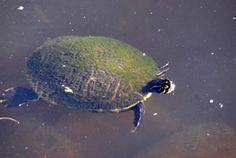 turtle_turkey_creek Indian River Lagoon, Park City, Turtle, Turtles, Tortoise