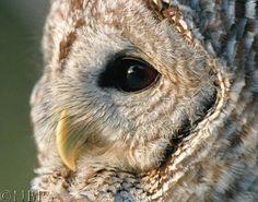 Owls beak