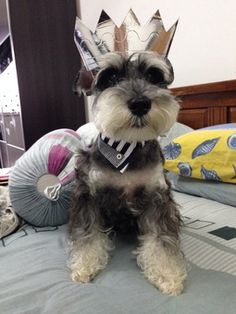 New | A community of Schnauzer lovers!                           Buster needs this crown!