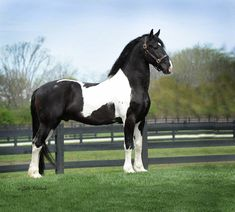 Dream Gait's Bizkit - Baroque Pinto Friesian stallion