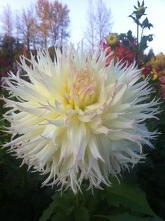 Dahlia 'Stellyvonne' - no information on this plant, but has other Dahlias, with information.