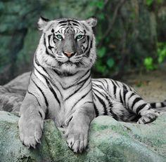De witte tijgers maken hun opwachting in ZooParc Overloon FOTO ZooParc Overloon Libéma