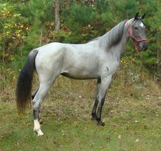 Tennessee Walking Horses - CLOUD 9 WALKERS (Tennessee Walking Horse Mare))