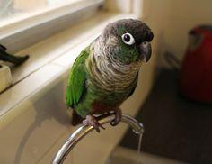 Zeph (Green Cheek Conure)