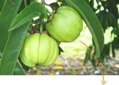 Garcinia plant