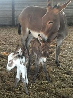 Donkey foals are priceless! Never seen them before!