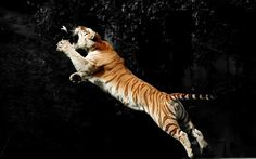 Jumping tiger, eater butterfly