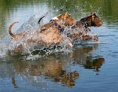 pitbulls exercising