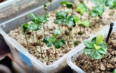 Growing coffee plants we could try growing some - it would be fun P Garden, Dream Garden, Small Space Gardening, Indoor Gardening, Coffea Arabica, Paradise Garden, Coffee Plant, Tropical Plants, Fruit Trees