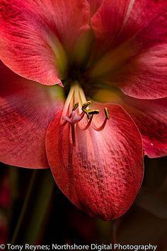 Screaming Red by Tony Reynes, via Flickr