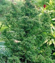 prod_rel.title Evergreen Landscape, Evergreen Shrubs, Shrubs For Sale, Types Of Mulch, Dragon Tree, Trees Online, Organic Compost, Specimen Trees