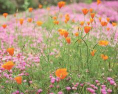 California poppy ground cover - Boogie Oogie Outta Sight Orange by Live Mulch. For the stone wall. Meadow Flowers, Wild Flowers, Beautiful Flowers, Bonsai, Champs, California Poppy, Felder, Dream Garden, Planting Flowers